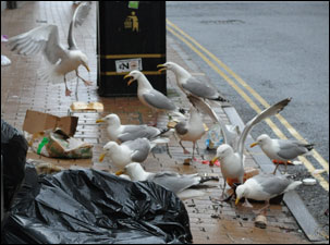 seagulls-attack-rubbish-in-